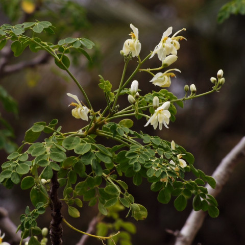 The Miracle Tree in Brisbane (Moringa oleifera)
