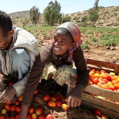 A farmer sorts tomatoes, Ethiopia