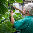 Photo of Marshall Hinsley picking a seedless cucumber from a vine in a greenhouse