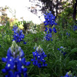 News_wildflowers_bluebonnets_by Jason A. Samfield