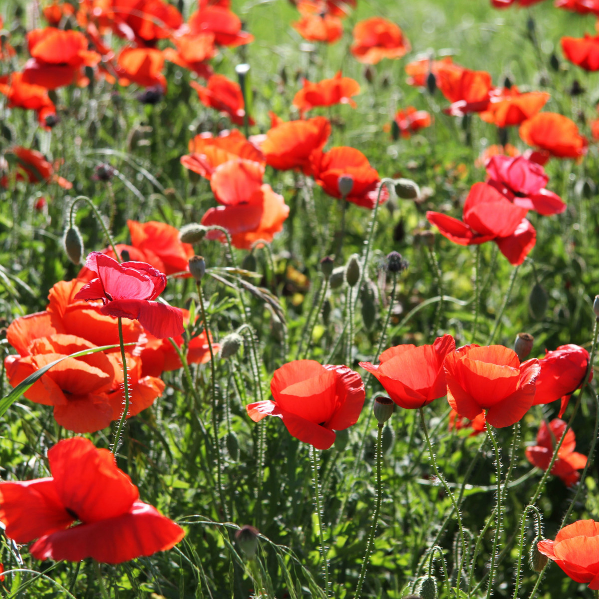 Red poppies in Georgetown