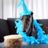 Greyhound Adoption League of Texas 16th Anniversary