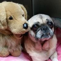 Pug Rescue of Austin presents ValenPugs Gala 2016