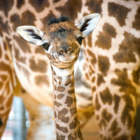 Houston, Houston Zoo, September 2015, baby giraffe2