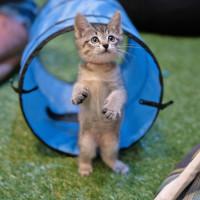 Cat at Pop Cats Show