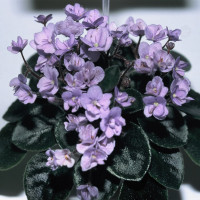 African Violet Society of America National Show and Sale