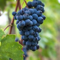 <i>Aperitivo Italiano: Hidden Gems Italian Alternatives to Pinot Noir</i>