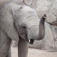 Houston Zoo Call of the Wild Speaker Series and Film Screening: Battle for Elephants