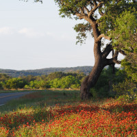 Texas Hill Country wildflowers