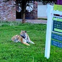 tiger houston neighborhood