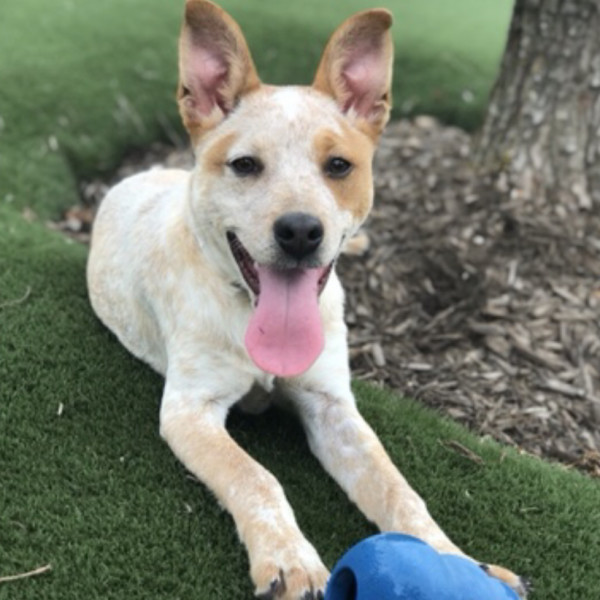 Friendly cattle dog Odis seeks new playmate at Houston SPCA