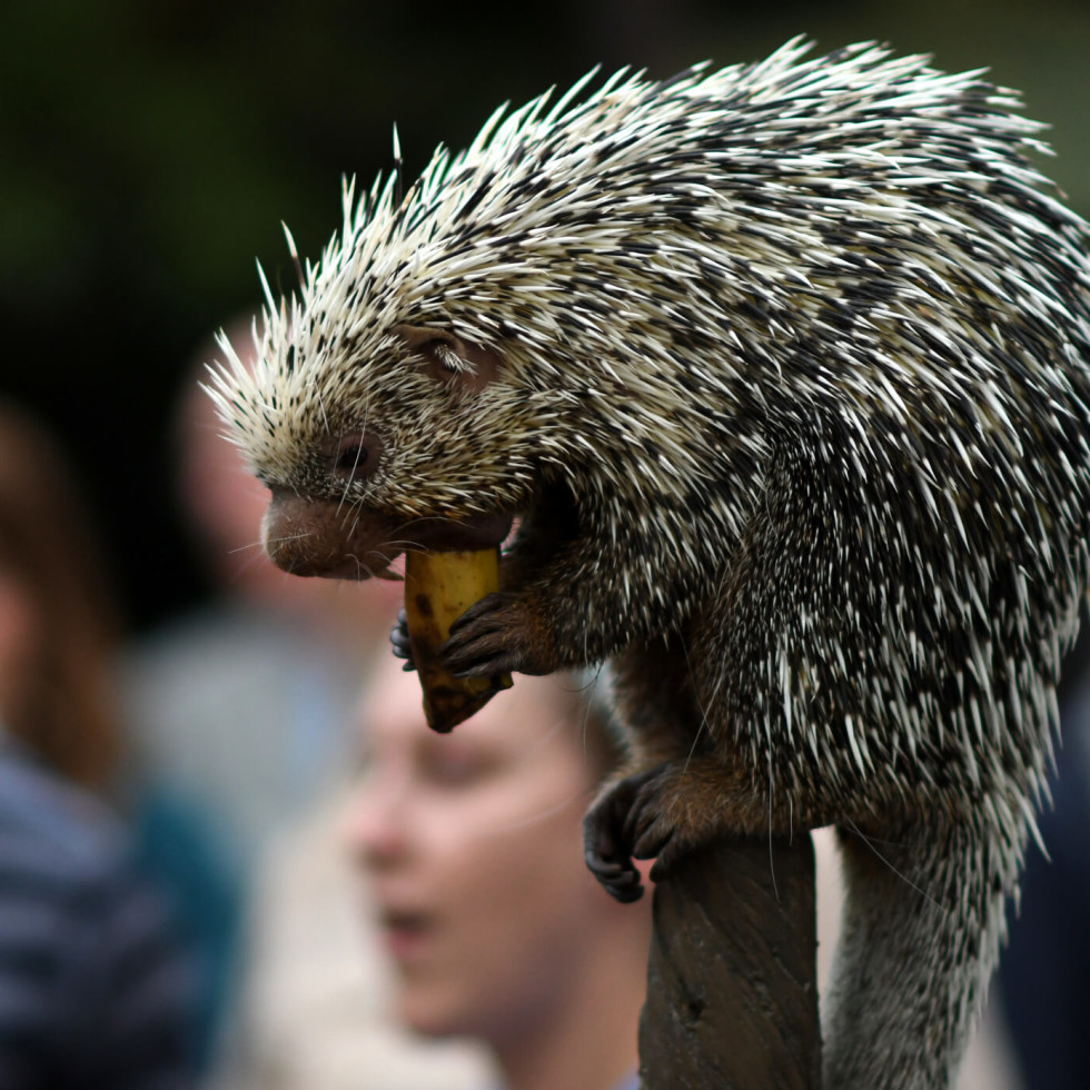 Houston, Zoo Ball, Oct. 2016, Norman the prehensile-tailed porcupine