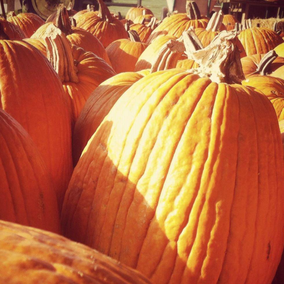 Evergreen Farms pumpkin hunt pumpkins