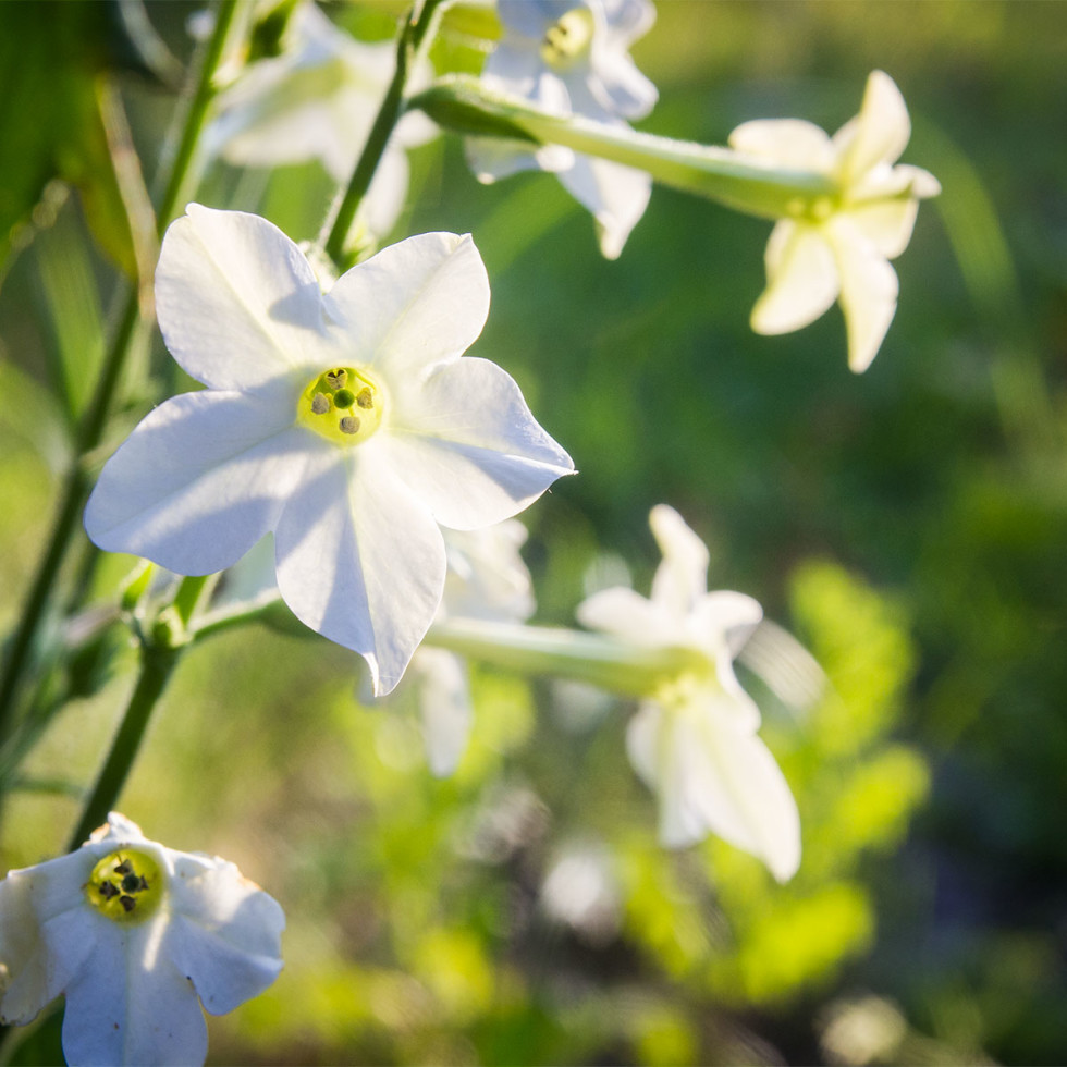 Photo of nicotiana flowers