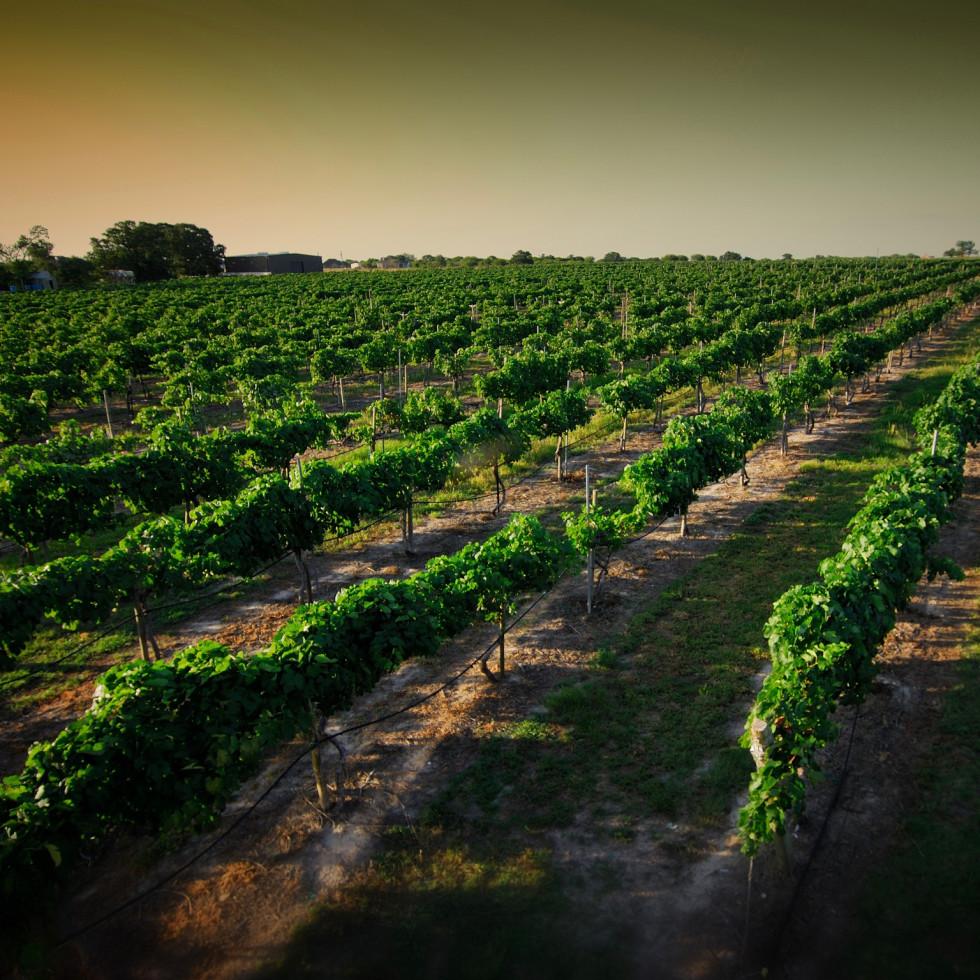 Messina Hof vineyard