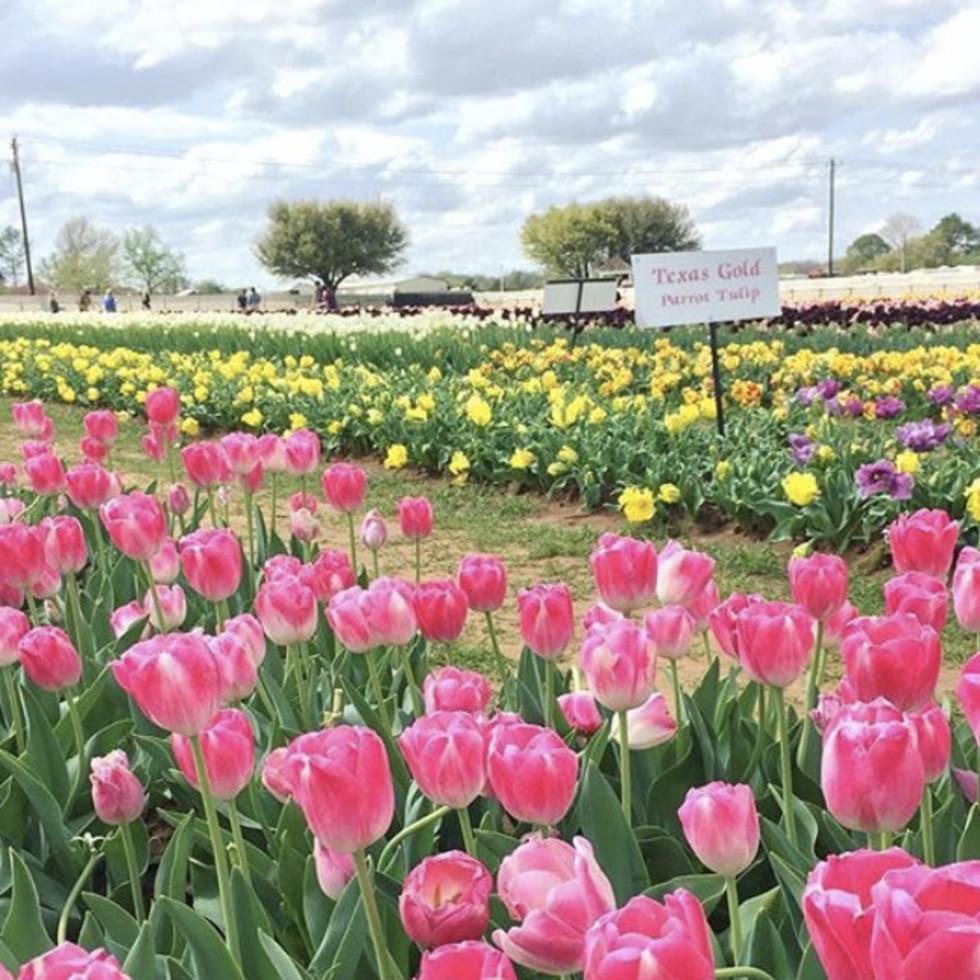 Texas Tulips farm