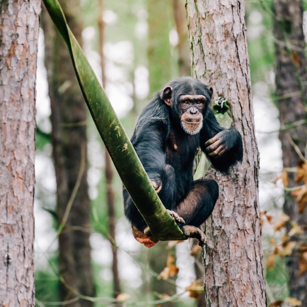 Chimp Haven