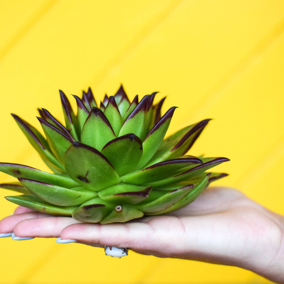 Hand holding a succulent