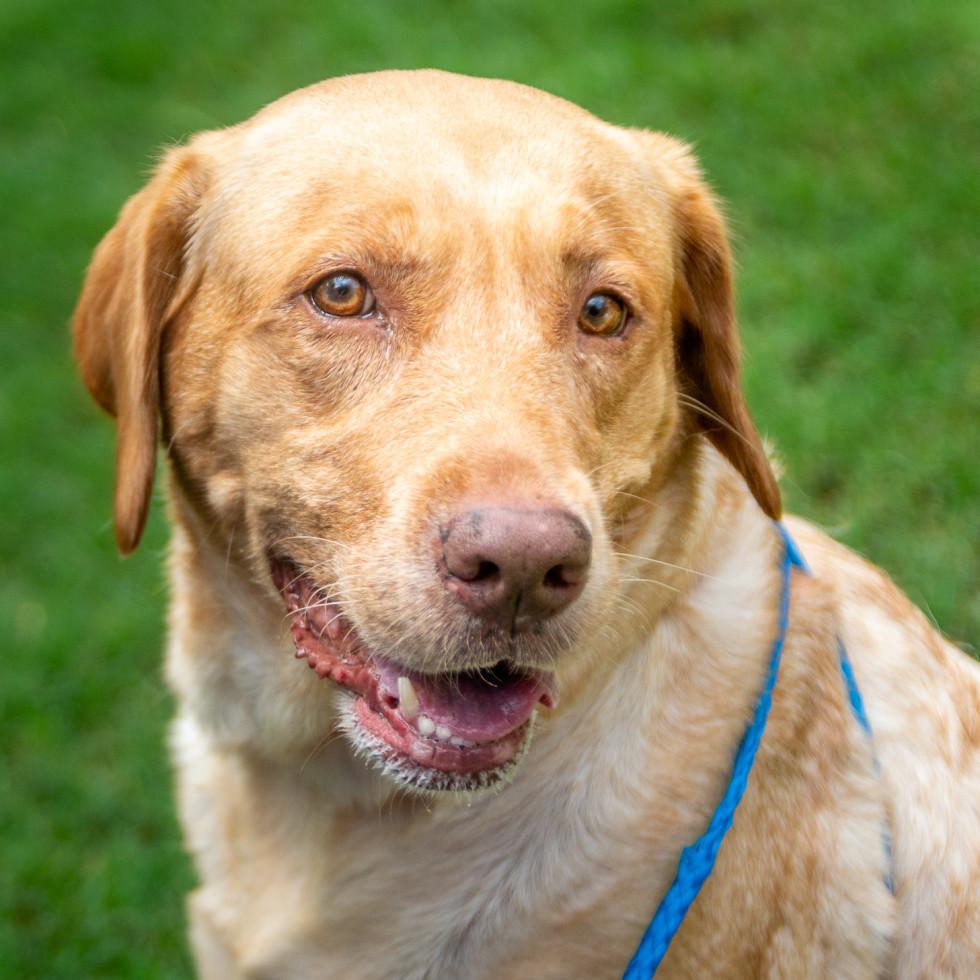 Pet of the week - Lola retriever