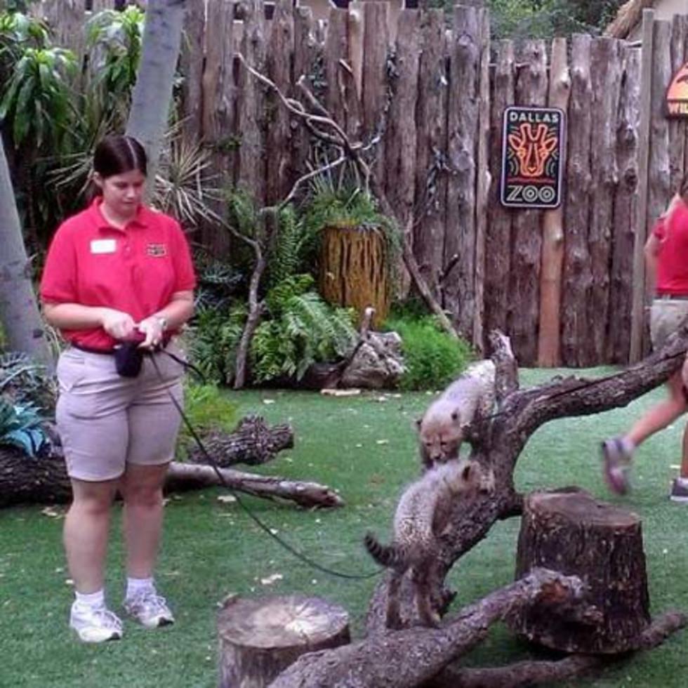 Dallas Zoo, cheetah cub