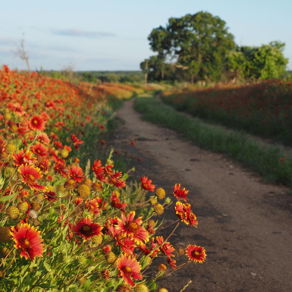 Wildflowers in Fredericksburg