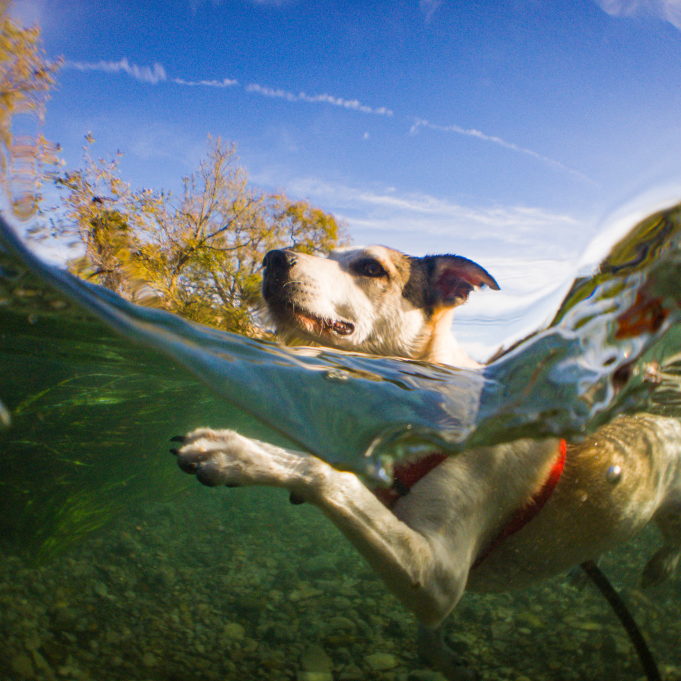 Dog swimming in the San Marcos River