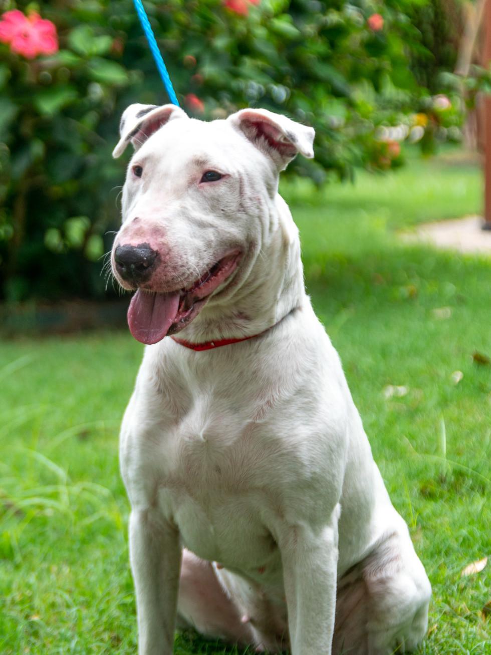 Pet of the week - Lola bull terrier