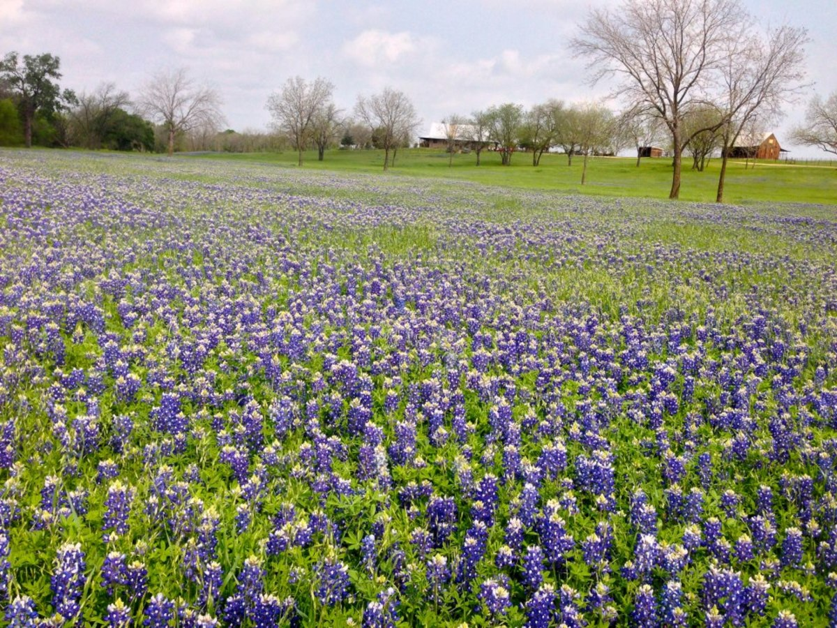 Texas Official Bluebonnet Trail Blossoms Just Outside Dallas