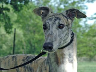 Greyhound Adoption League of Texas presents Rat Pack Gala and Casino Night