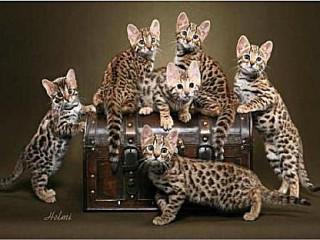 South Central Regional International Cat Show
