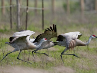 "Galveston Island Nature Tourism Council's ""Breakfast with the Sandhill Cranes"""