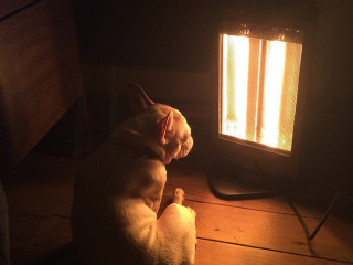 French Bulldog - Heater - Banger's Austin - December 2014