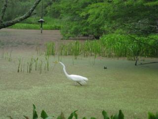 News_Peter Barnes_Brazos Bend State Park_crane