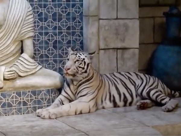 Downtown Aquarium white tigers 9/16