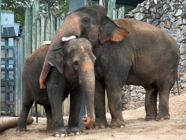 Houston Zoo Valentine's, Feb. 2016, Elephant mating