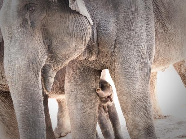 News_New elephant_Shanti_Tupelo