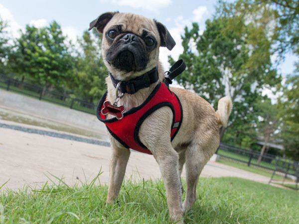 Johnny Steele Dog Park Allen Parkway pug