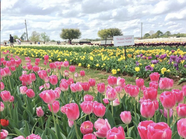 Texas Tulips farm