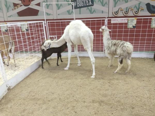 Camel biting State Fair