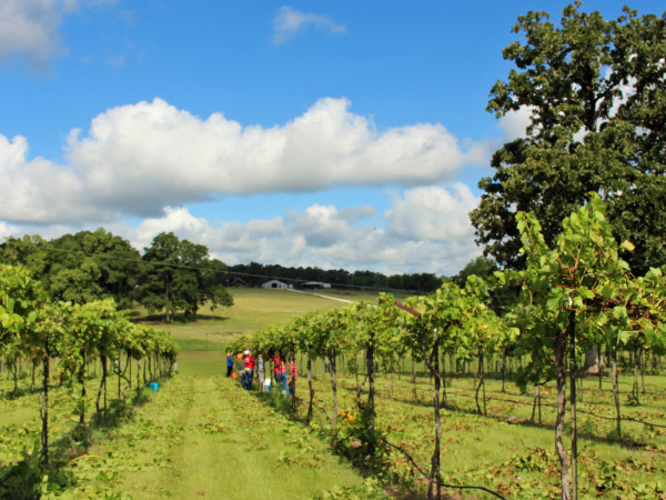 West Sandy Creek Winery vineyard