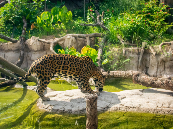 Houston Zoo Pantanal Tesoro jaguar