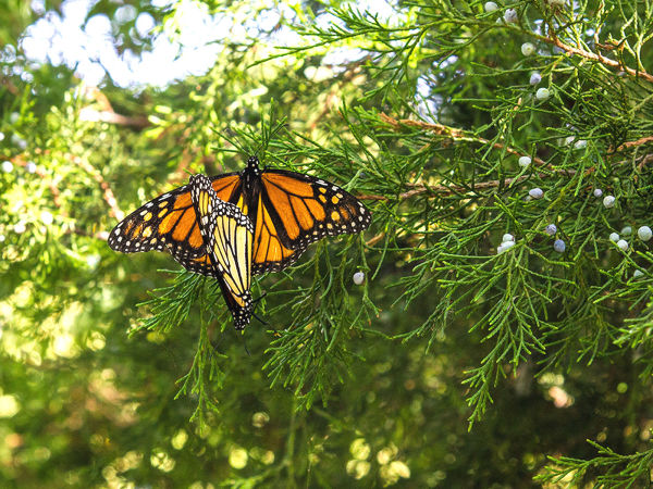 Photo of mating monarch butterflies