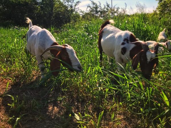 goats Houston Arboretum