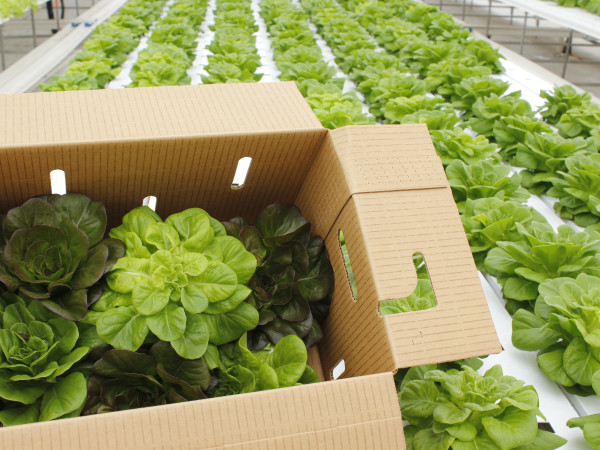 Moonflower Farms butter lettuce box