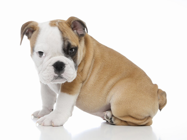 News_bulldog_puppy_stolen
