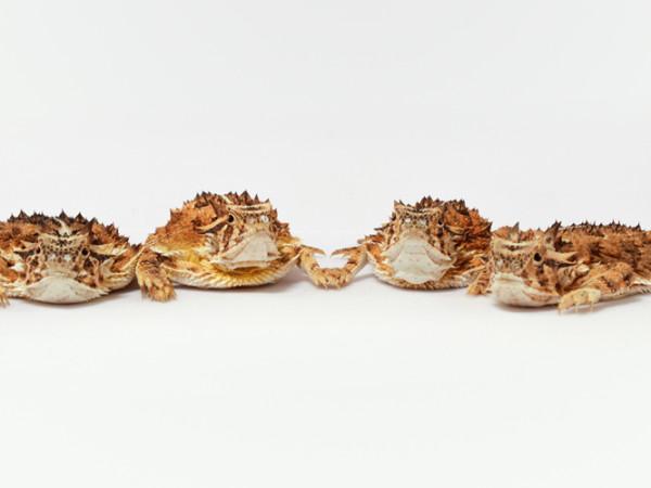Texas horned lizards