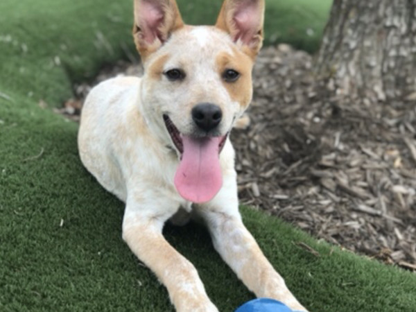 Adoptable dog Odis
