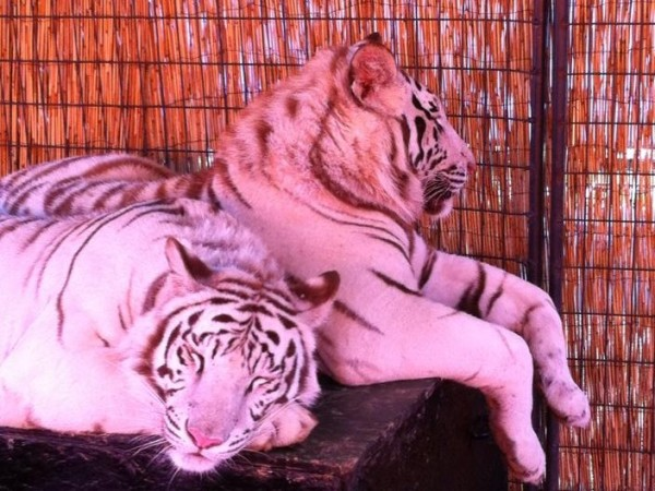 royal White Tiger discovery