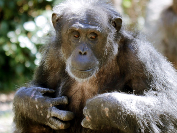 Kirk chimpanzee