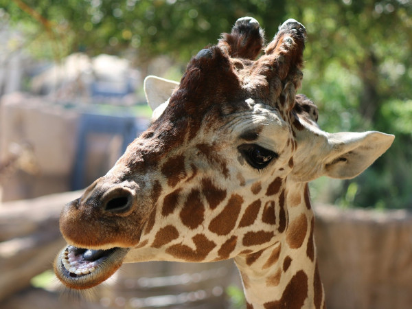 Auggie giraffe